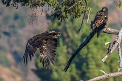 Avvistamento raro Eagle calvo americano in serie di California del sud Fotografia Stock