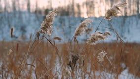 Avvolga il salto contro le canne secche un giorno soleggiato dell'inverno archivi video