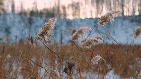 Avvolga il salto contro le canne secche un giorno soleggiato dell'inverno stock footage