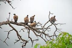 Avvoltoi Fotografie Stock