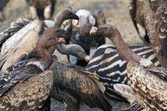 Avvoltoi Fotografia Stock Libera da Diritti