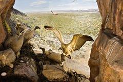 Avvoltoi Fotografia Stock