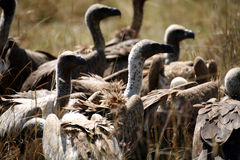 Avvoltoi Immagini Stock Libere da Diritti