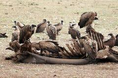 Avvoltoi affamati Fotografia Stock