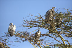 Avvoltoi in Africa Fotografia Stock Libera da Diritti