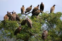 Avvoltoi africani Fotografie Stock Libere da Diritti
