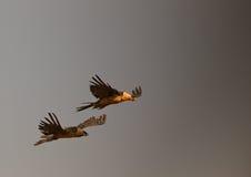 Avvoltoi barbuti che volano nella tempesta Fotografia Stock Libera da Diritti