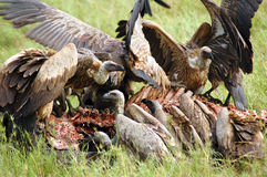 Avvoltoi che attacano e che mangiano una carcassa del bufalo Immagini Stock