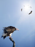 Avvoltoi che attendono per predare al innocent Fotografie Stock