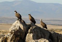 avvoltoi che riposano sulla pietra Immagini Stock