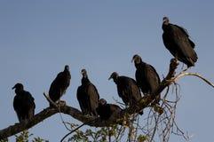 Avvoltoi che roosting Fotografia Stock Libera da Diritti