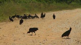 Avvoltoi che selezionano alla carcassa stock footage