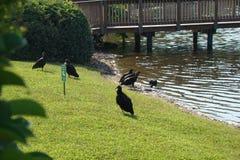 Avvoltoi che verificano qualcosa morti a Walden Lake Fotografia Stock Libera da Diritti