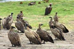 Avvoltoi dal dorso bianco Fotografia Stock