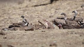 Avvoltoi dal dorso bianco che si alimentano carcassa archivi video