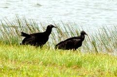 Avvoltoi dei terreni paludosi fotografia stock libera da diritti