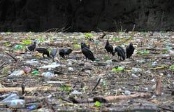 Avvoltoi del canyon di Sumidero, Messico Immagini Stock Libere da Diritti