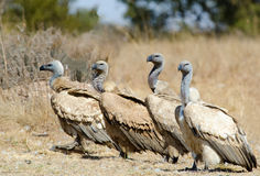 4 avvoltoi del capo in una fila Immagini Stock