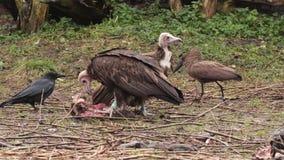 Avvoltoi della preda che mangiano carne archivi video