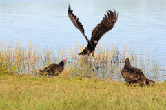 Avvoltoi della Turchia Fotografie Stock Libere da Diritti