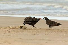 Avvoltoi della Turchia che competono per uno storione guasto del lago Immagini Stock Libere da Diritti