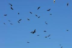 Avvoltoi di circonduzione Immagini Stock