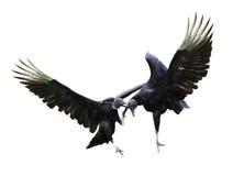 Avvoltoi di combattimento Immagini Stock