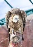 Avvoltoi di seduta della neve immagini stock