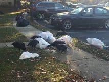 Avvoltoi di Turchia che si riuniscono e che puliscono il giorno dei rifiuti Immagini Stock