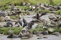 Avvoltoi e Marabu Immagine Stock
