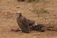 Avvoltoi e testa dello Gnu Fotografia Stock Libera da Diritti