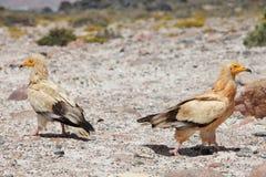 Avvoltoi egiziani immagine stock
