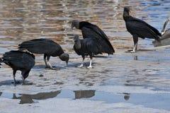 Avvoltoi nel Sudamerica Fotografia Stock Libera da Diritti