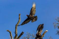 Avvoltoi nella curvatura di Brazos Immagine Stock Libera da Diritti