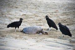 Avvoltoi neri Fotografia Stock