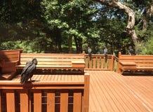 Avvoltoi neri giovanili ed adulti Immagini Stock