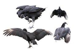 Avvoltoi neri messi Fotografia Stock