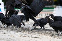 Avvoltoi sulla spiaggia Fotografie Stock