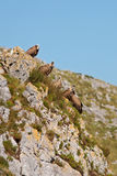 Avvoltoi sulle rocce Fotografie Stock Libere da Diritti