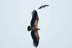 Avvoltoi in volo Fotografia Stock Libera da Diritti