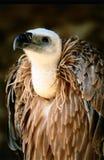 Avvoltoio Fotografia Stock