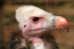 Avvoltoio Immagini Stock