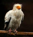 Avvoltoio Fotografie Stock Libere da Diritti