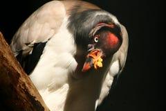 Avvoltoio Fotografia Stock Libera da Diritti