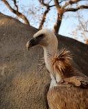 Avvoltoio Immagine Stock