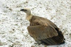 Avvoltoio immagine stock libera da diritti