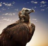 avvoltoio Immagini Stock Libere da Diritti