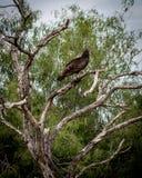 Avvoltoio in albero in porto Mansfield, il Texas Immagine Stock Libera da Diritti