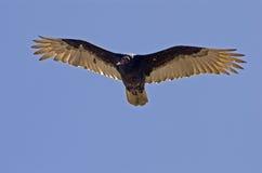 Avvoltoio in ascesa sopra l'Oceano Pacifico immagine stock