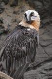 Avvoltoio barbuto Immagini Stock